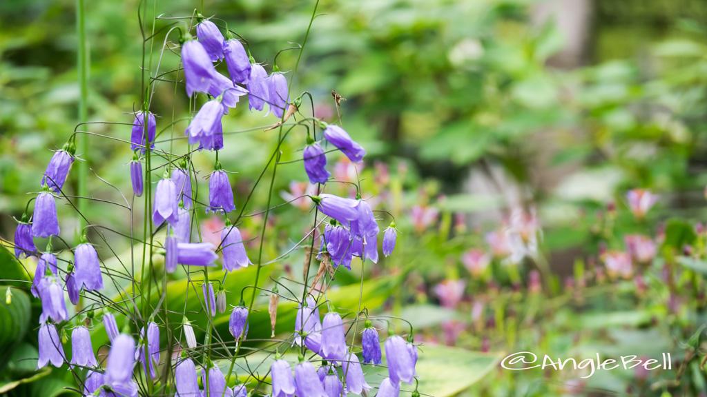 イワシャジン Flower Photo2