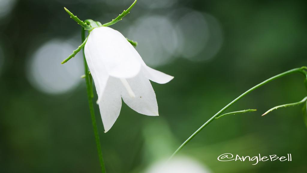 イワシャジン Flower Photo3