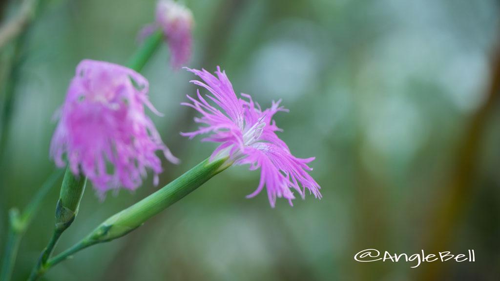 カワラナデシコ Flower Photo4