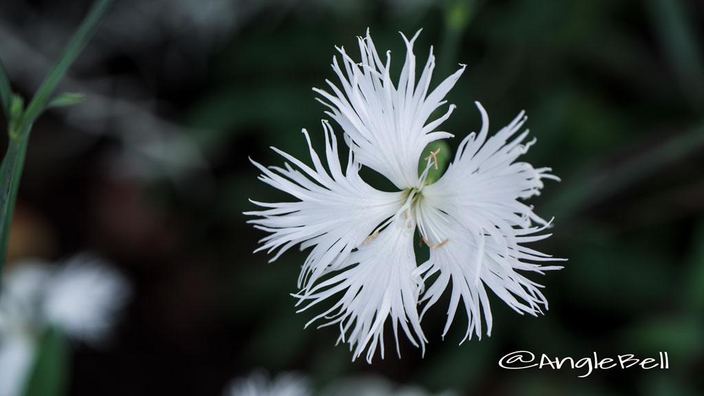 カワラナデシコ Flower Photo1