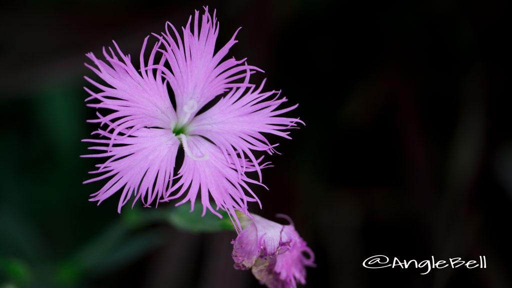 カワラナデシコ Flower Photo3