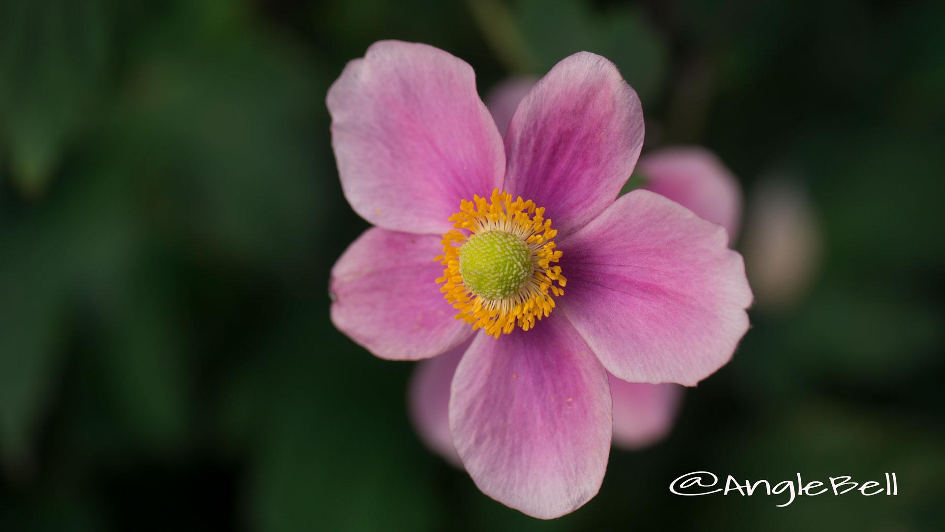 シュウメイギク 秋明菊 Photo1