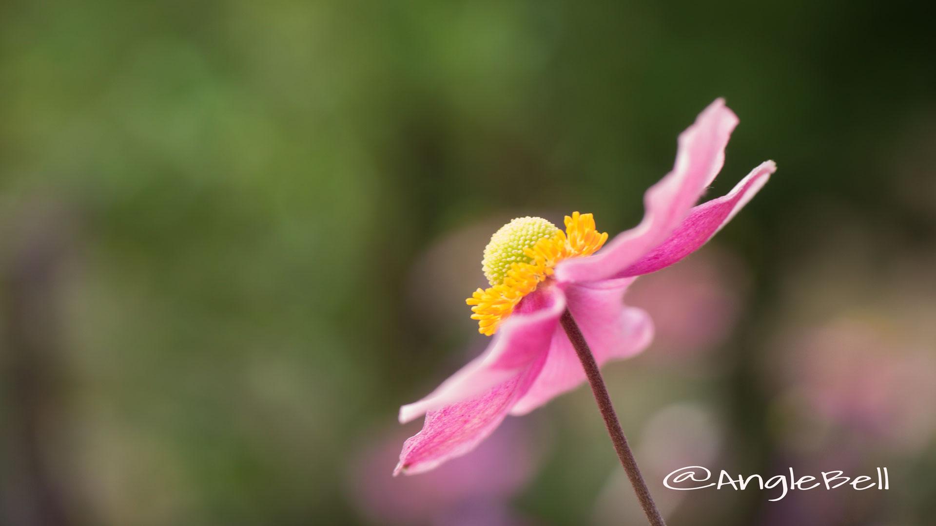 シュウメイギク 秋明菊 Photo3