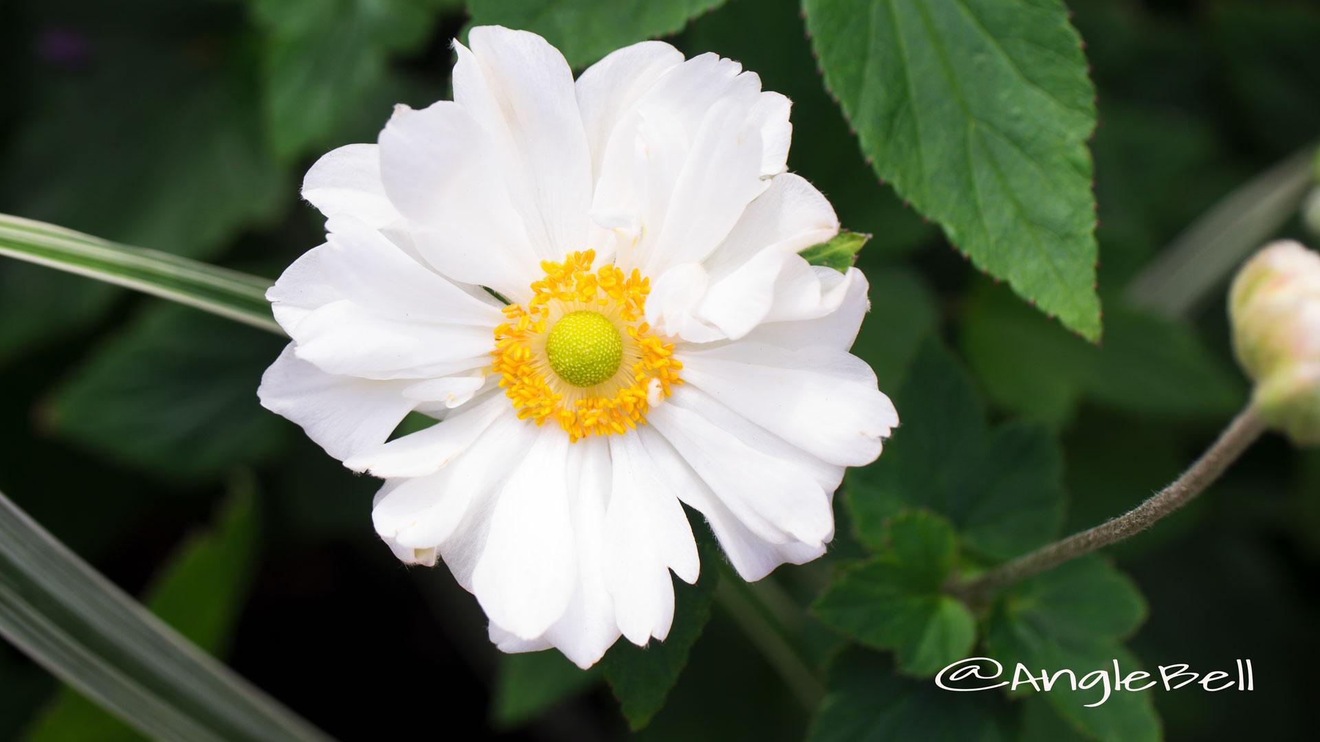 シュウメイギク 秋明菊 Photo4