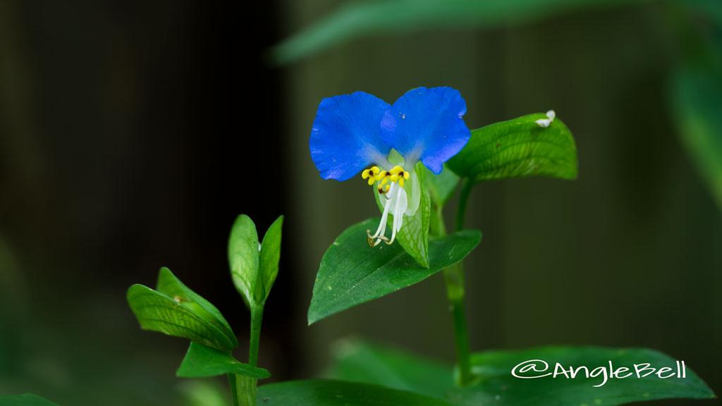 ツユクサ Flower Photo1
