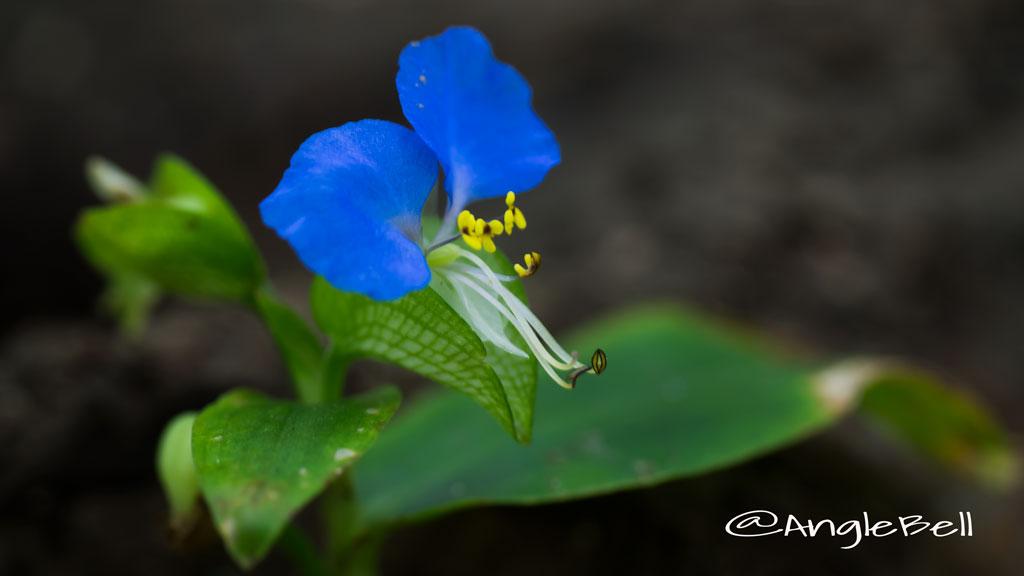 ツユクサ Flower Photo2