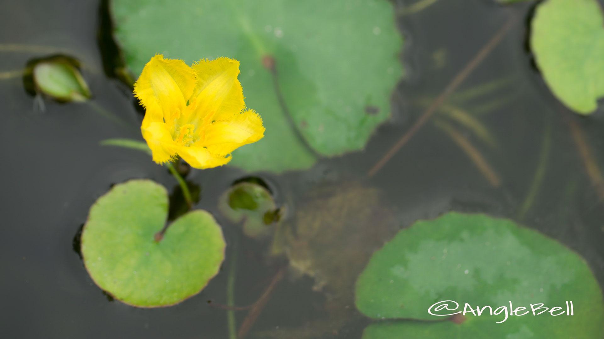 アサザ Flower Photo2