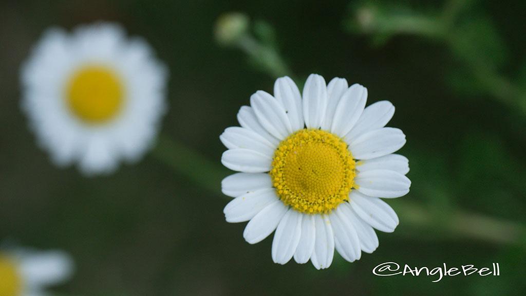 カモミール Flower Photo3