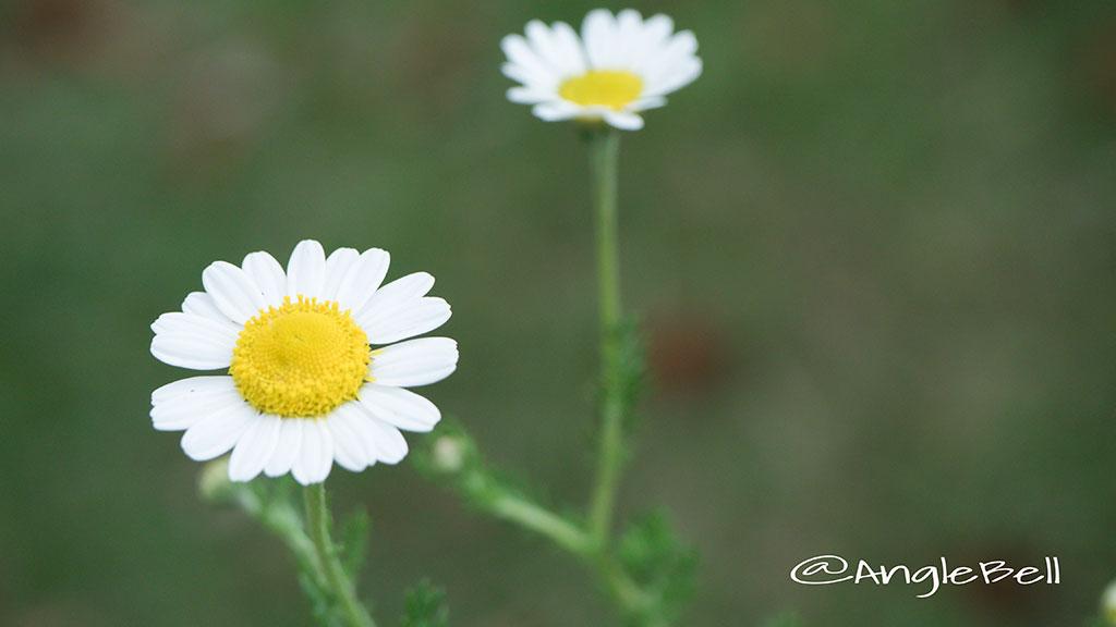 カモミール Flower Photo2
