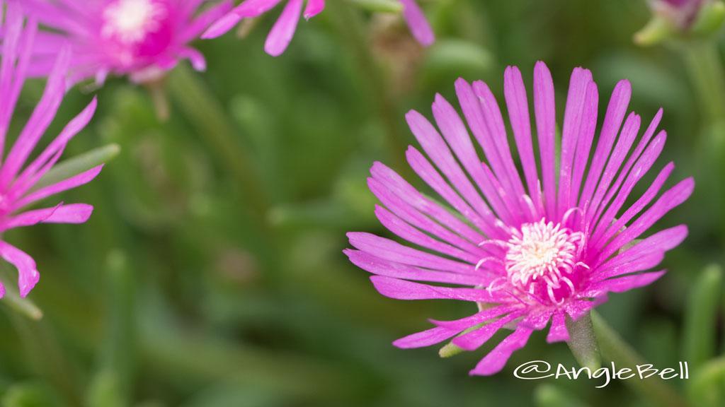 マツバギク 松葉菊 Flower Photo2