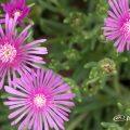マツバギク 松葉菊 Flower Photo1