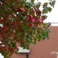 ナンキンハゼ Flower Photo3