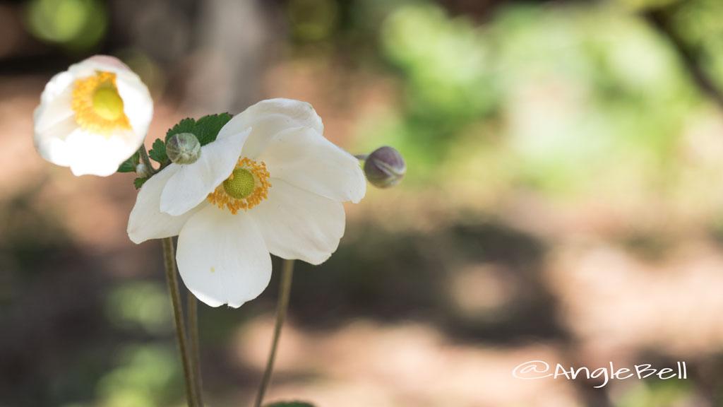 シュウメイギク 秋明菊 Photo5