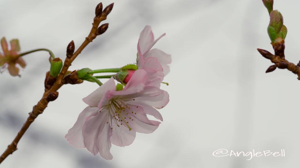 アーコレード 桜 Flower Photo2