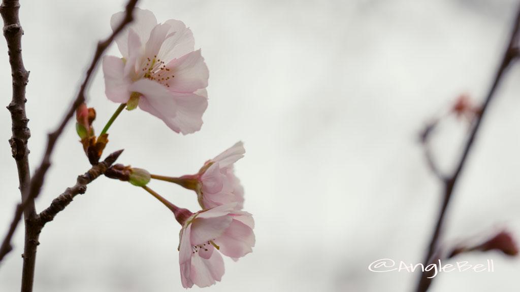 アーコレード 桜 Flower Photo3