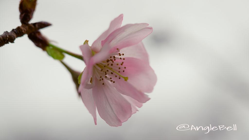 アーコレード 桜
