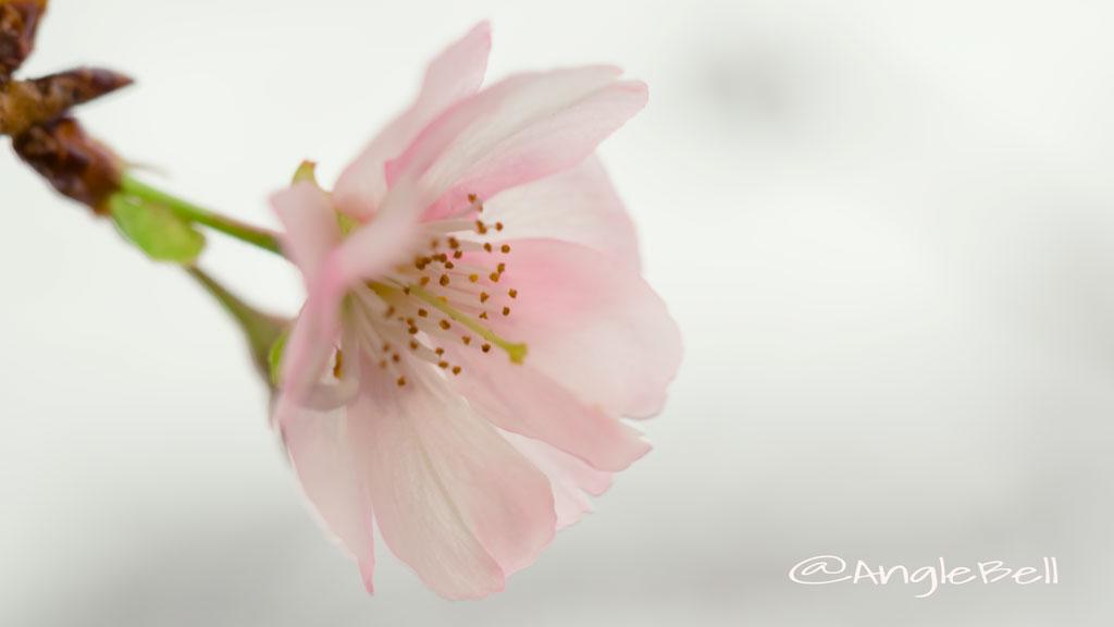 アーコレード 桜 Flower Photo4