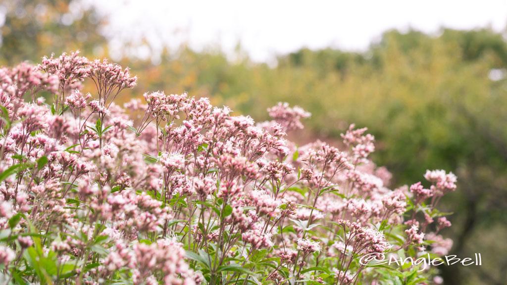 サワフジバカマ Flower Photo2