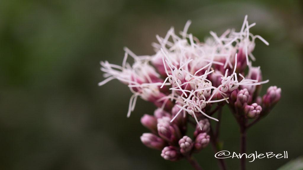 サワフジバカマ Flower Photo3