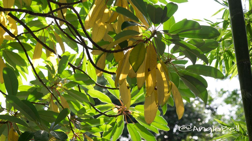 ユズリハ 譲り葉 Flower Photo3