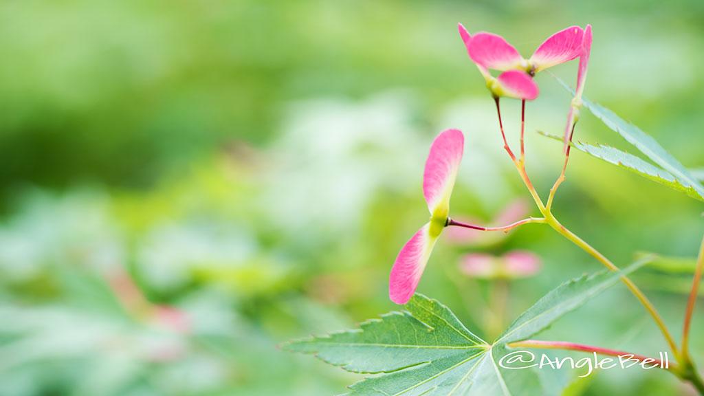 カエデ 楓(種子) Flower Photo1