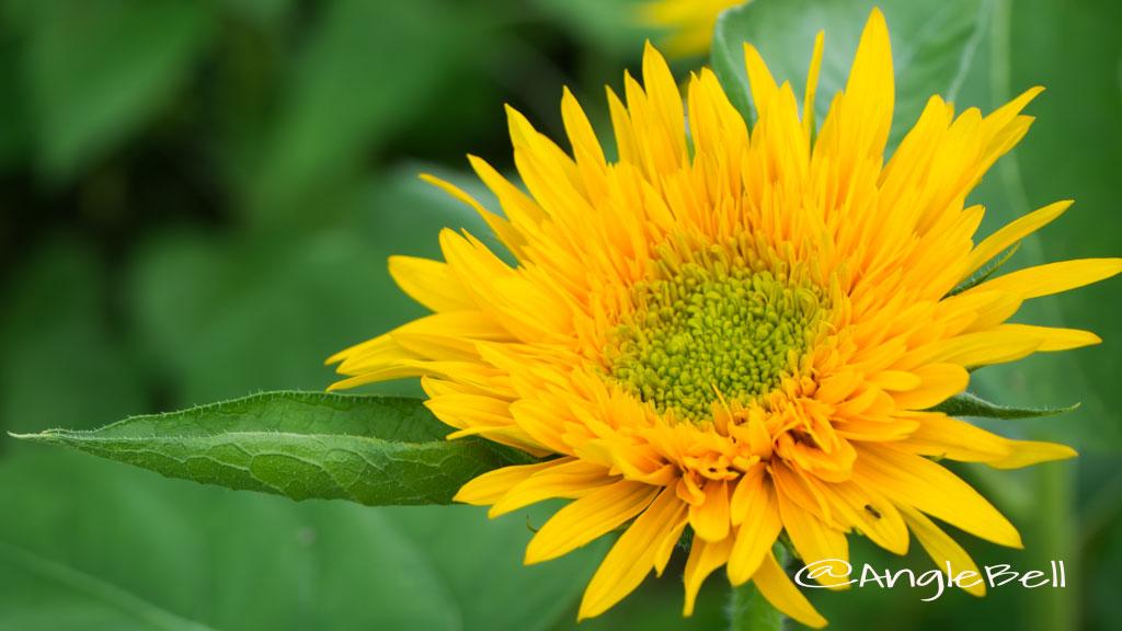 ヒマワリ ゴーギャン Flower Photo1