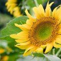 ヒマワリ ハイブリッドサンフラワー Flower Photo1