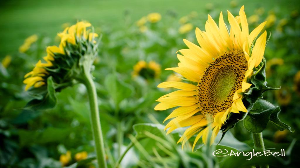 ヒマワリ ハイブリッドサンフラワー Flower Photo2