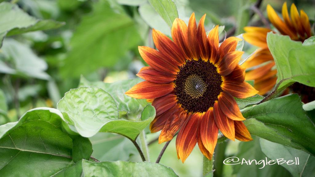 ヒマワリ ブラットレッドシェード Flower Photo3