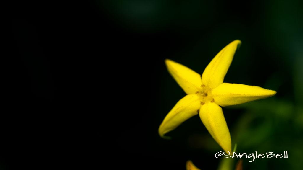 コンロンカ 崑崙花