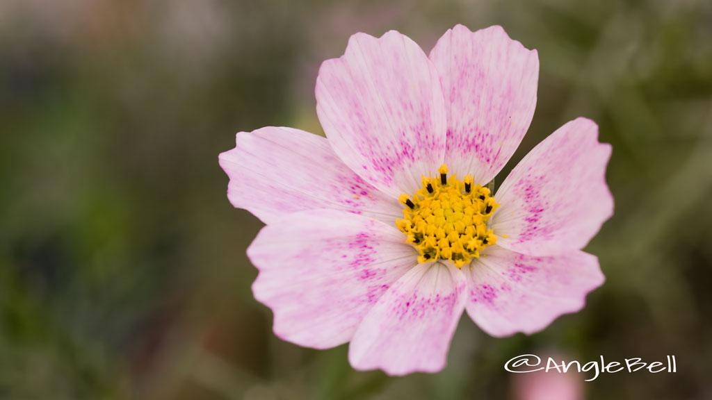 コスモス ハッピーリング Flower Photo1