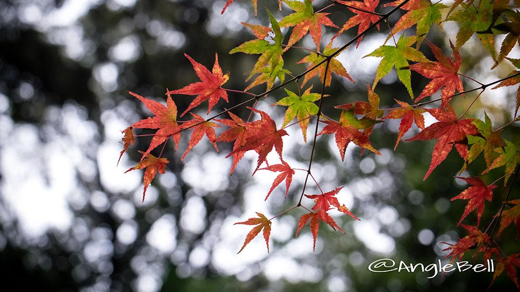カエデ 楓 Flower Photo2