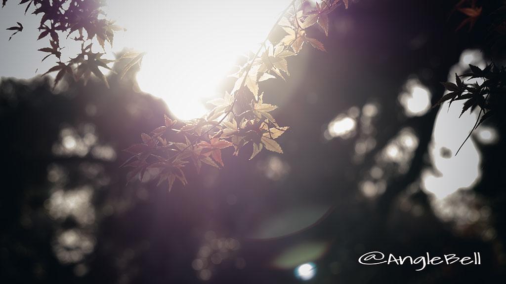 カエデ 楓 Flower Photo4