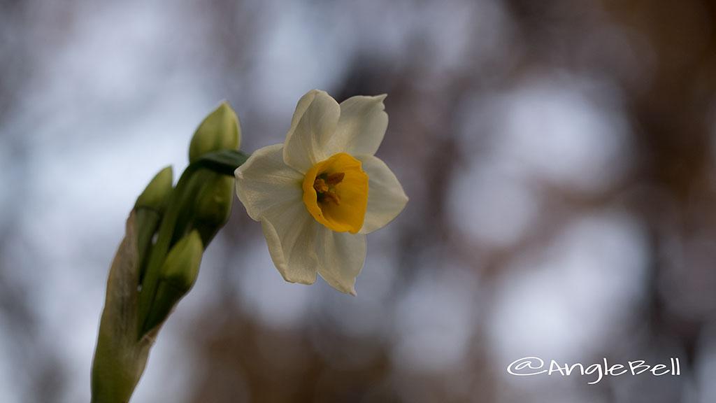 スイセン 水仙 Flower Photo3