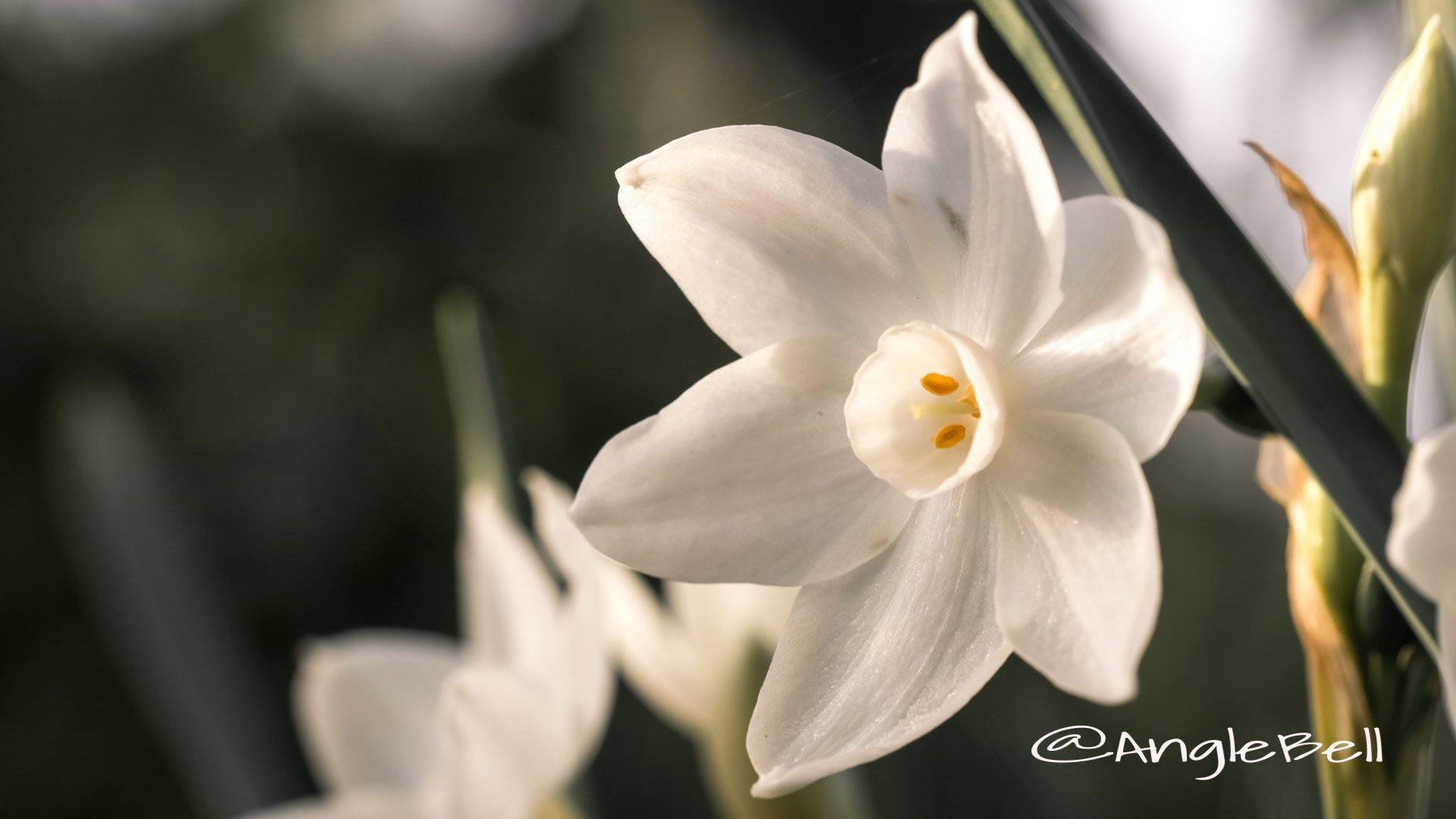 ペーパーホワイト 白水仙