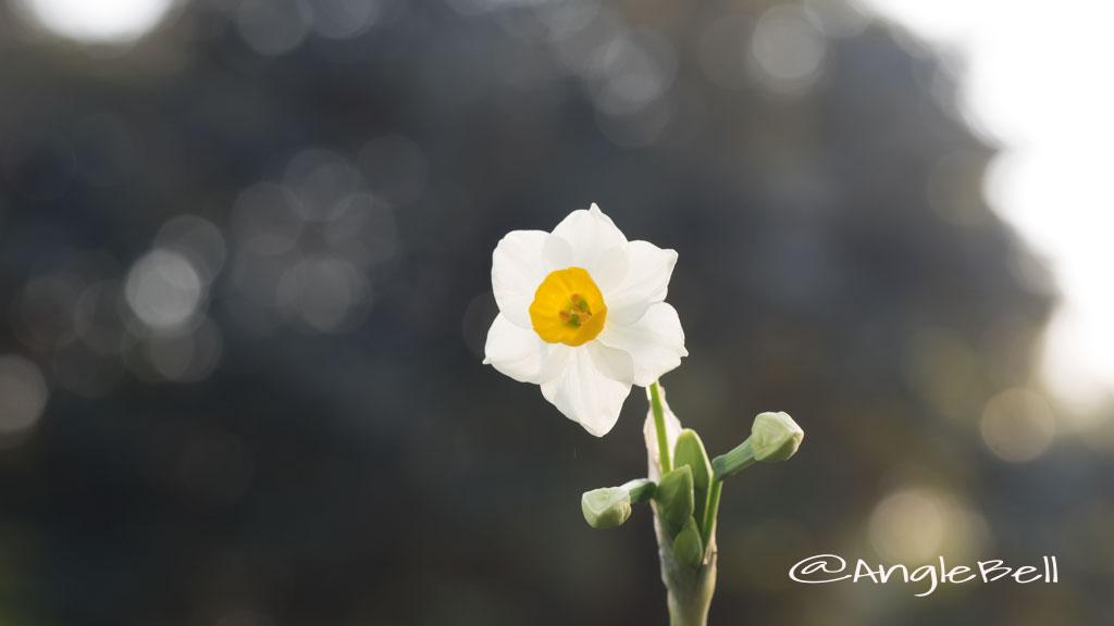 スイセン 水仙 Flower Photo4