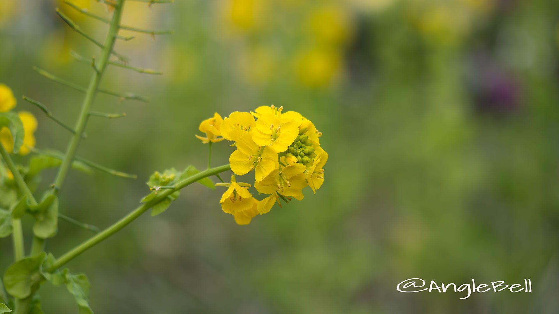 ナノハナ 菜の花