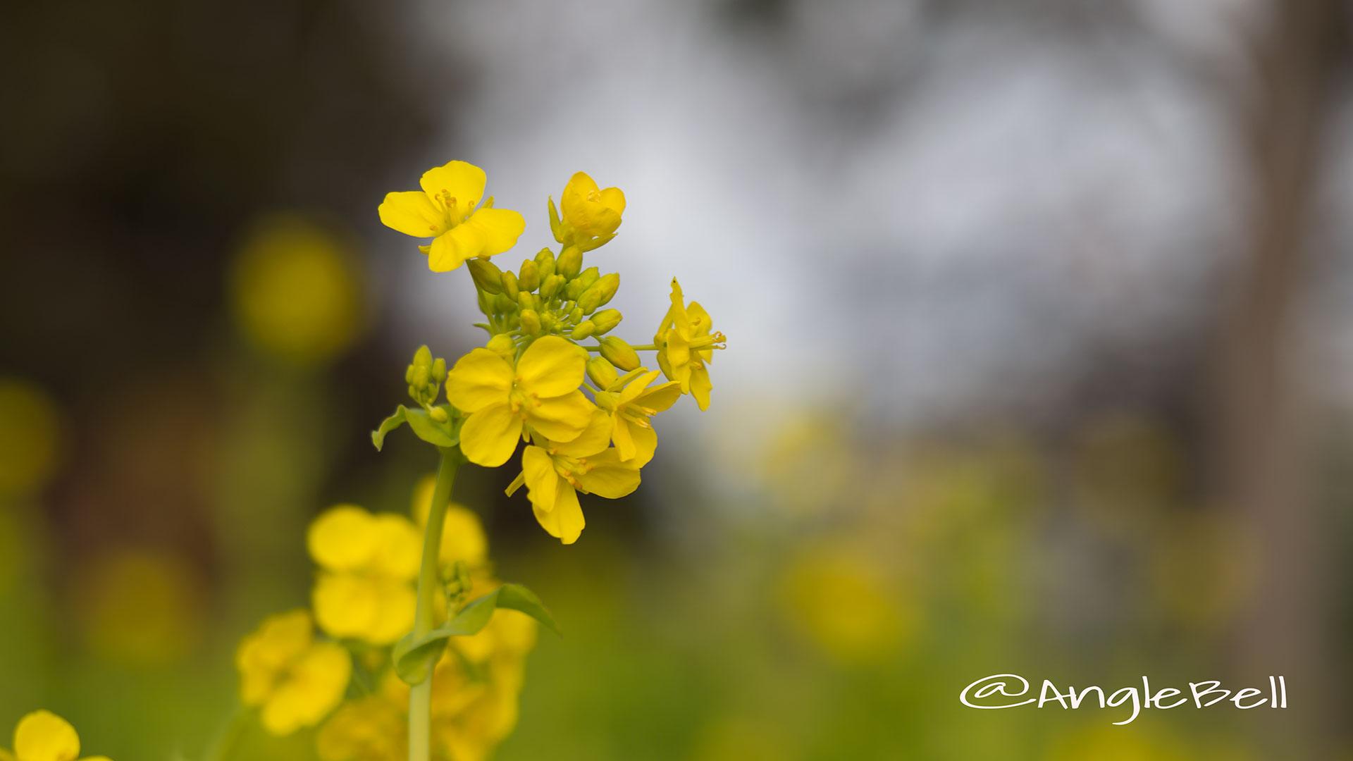 ナノハナ 菜の花 Flower Photo2