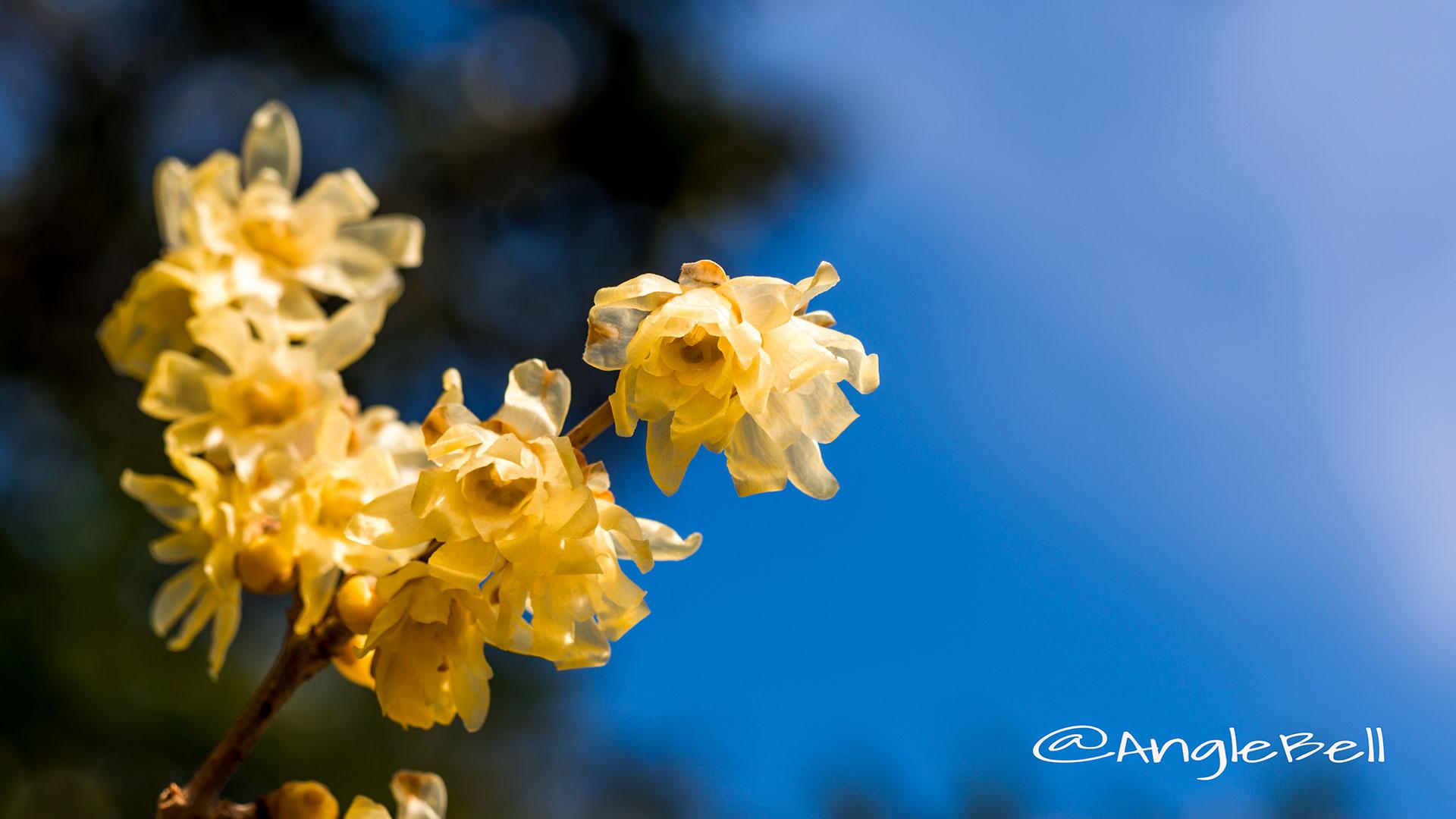 ソシンロウバイ 素心蝋梅 Flower Photo2