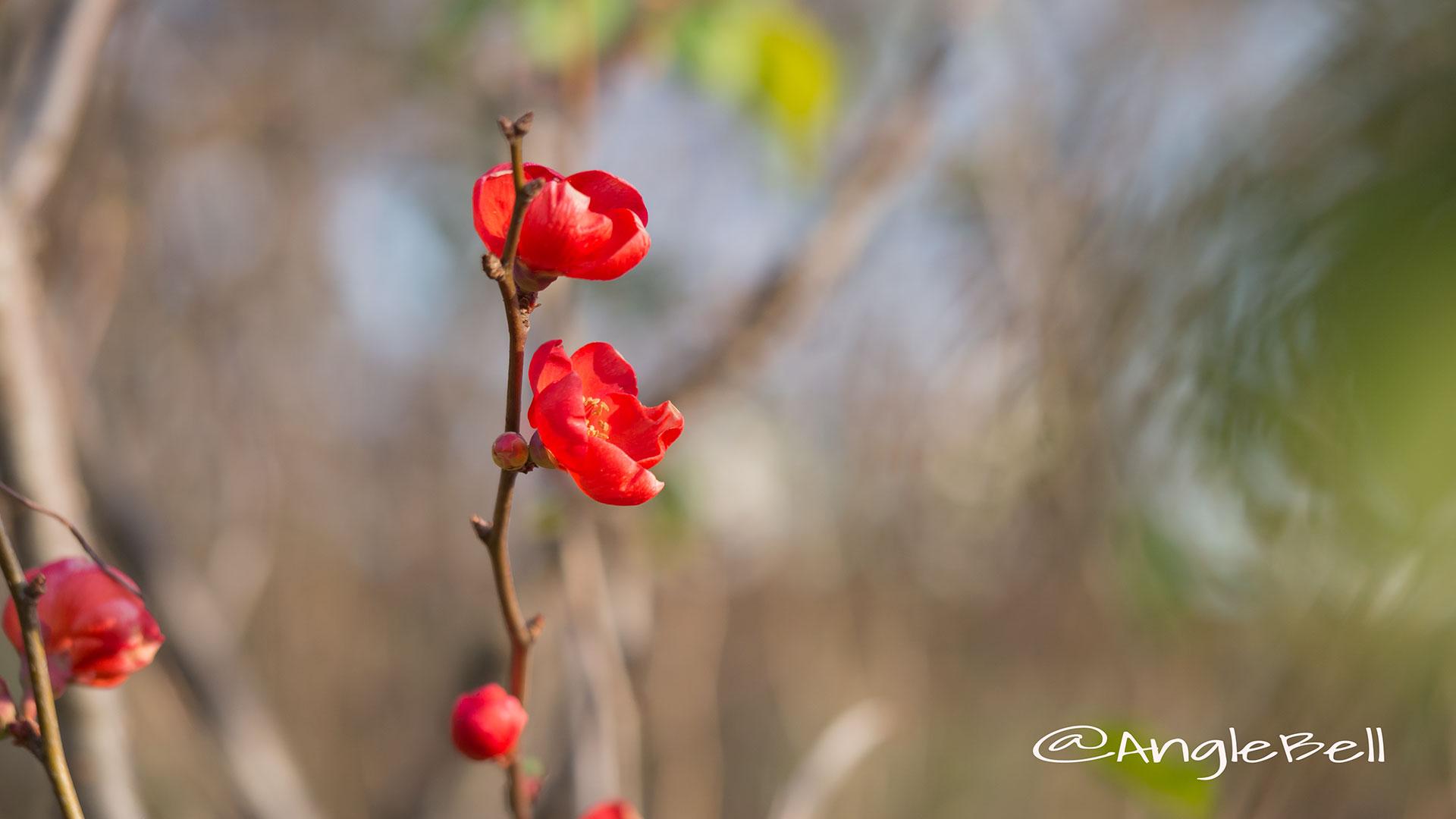 ボケ 木瓜 Flower Photo2