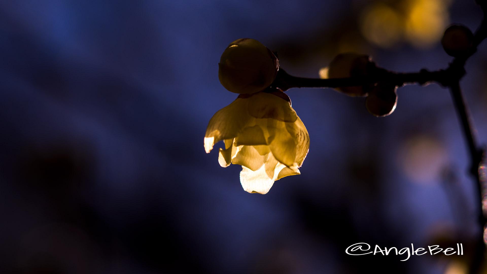 ソシンロウバイ 素心蝋梅 Flower Photo4