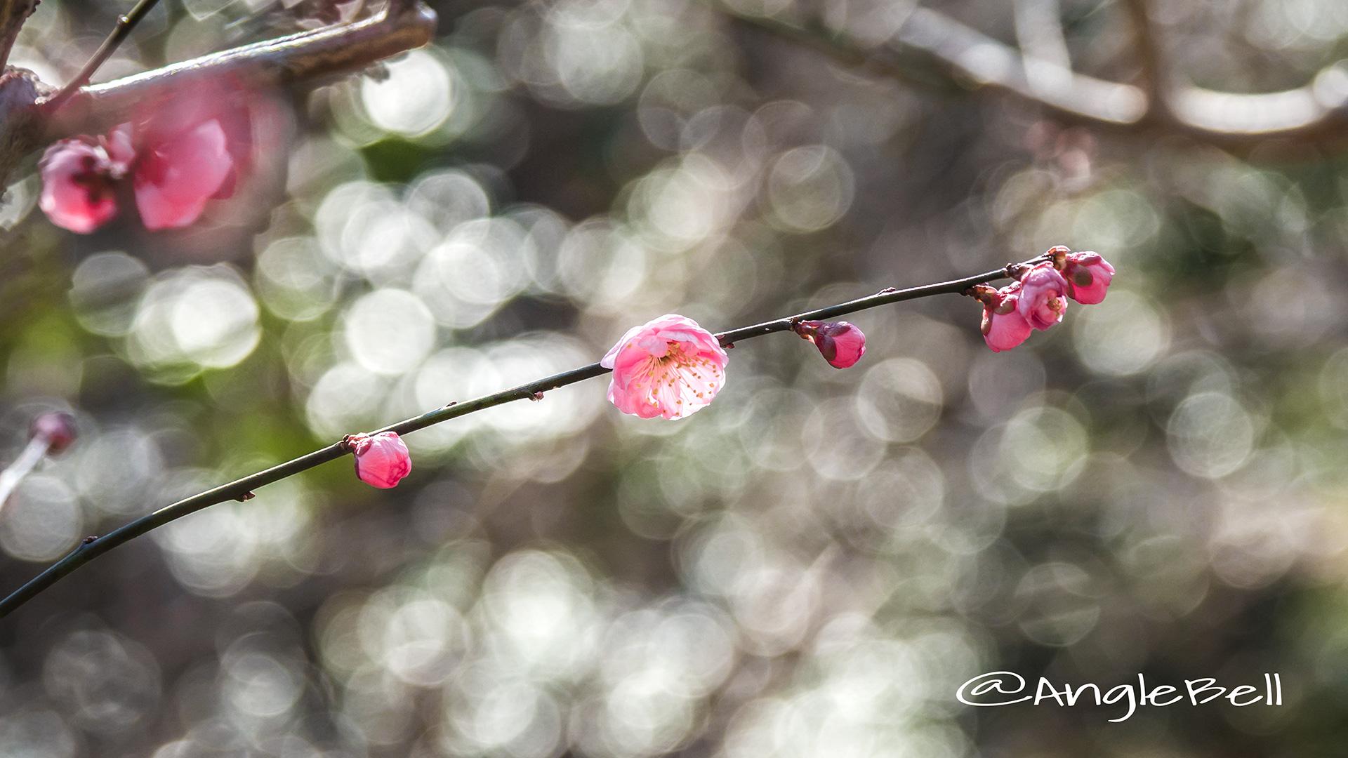 ウメ 梅 Flower Photo2