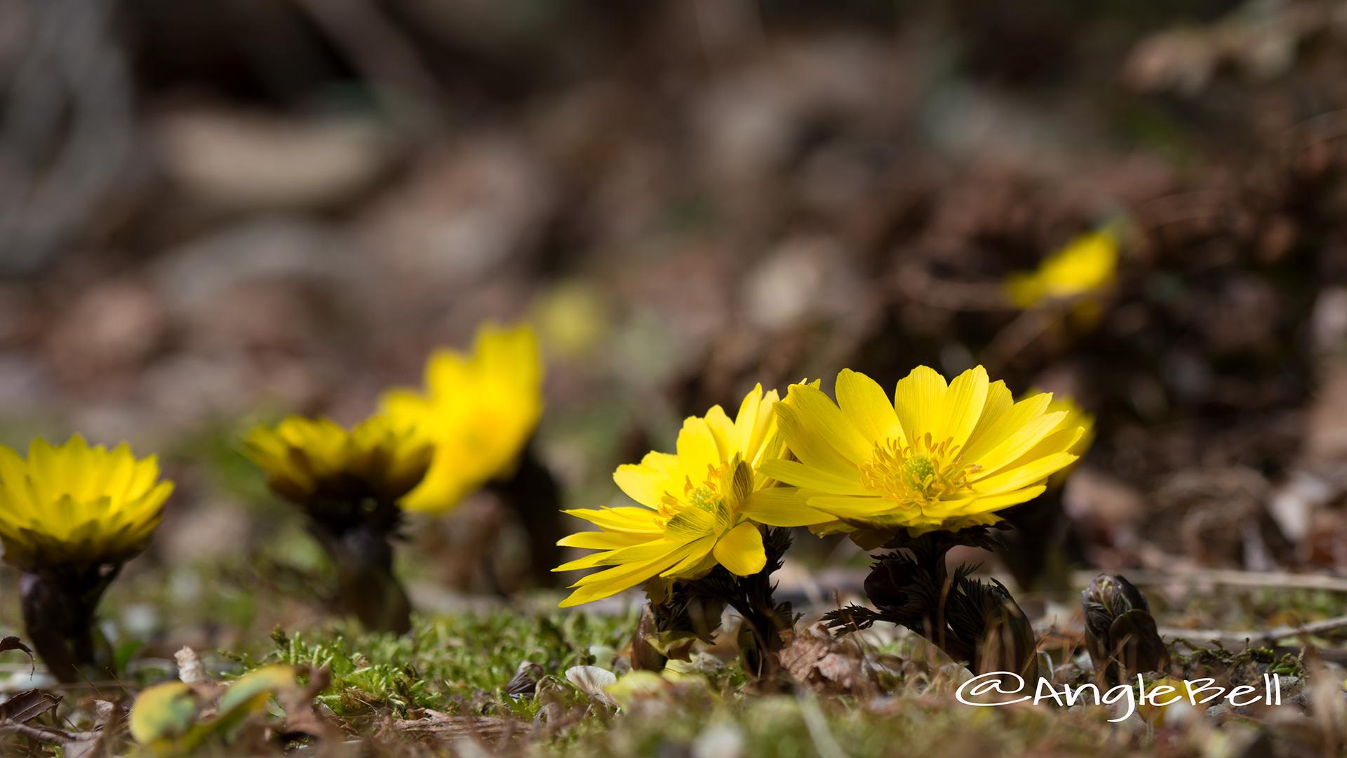 フクジュソウ 福寿草 Flower Photo4
