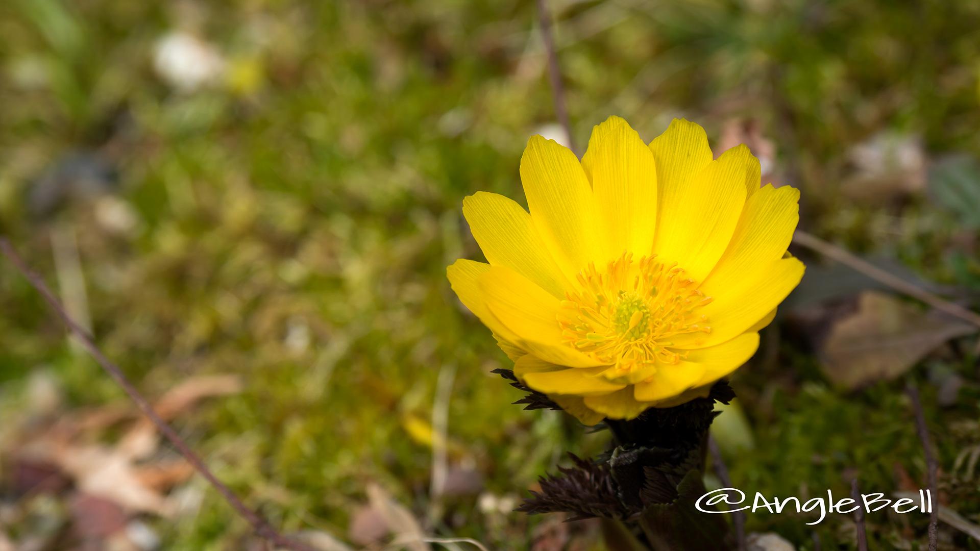 フクジュソウ 福寿草 Flower Photo3