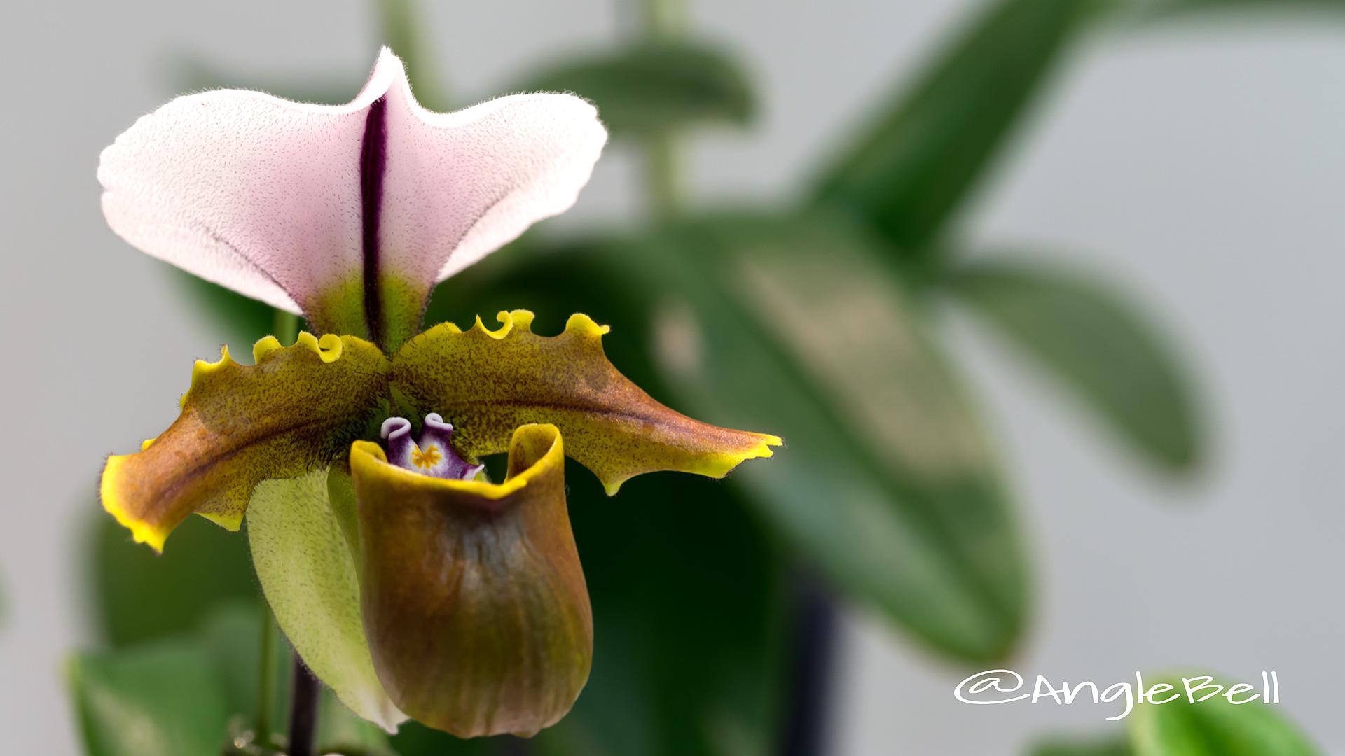 パフィオペディラム Flower Photo1