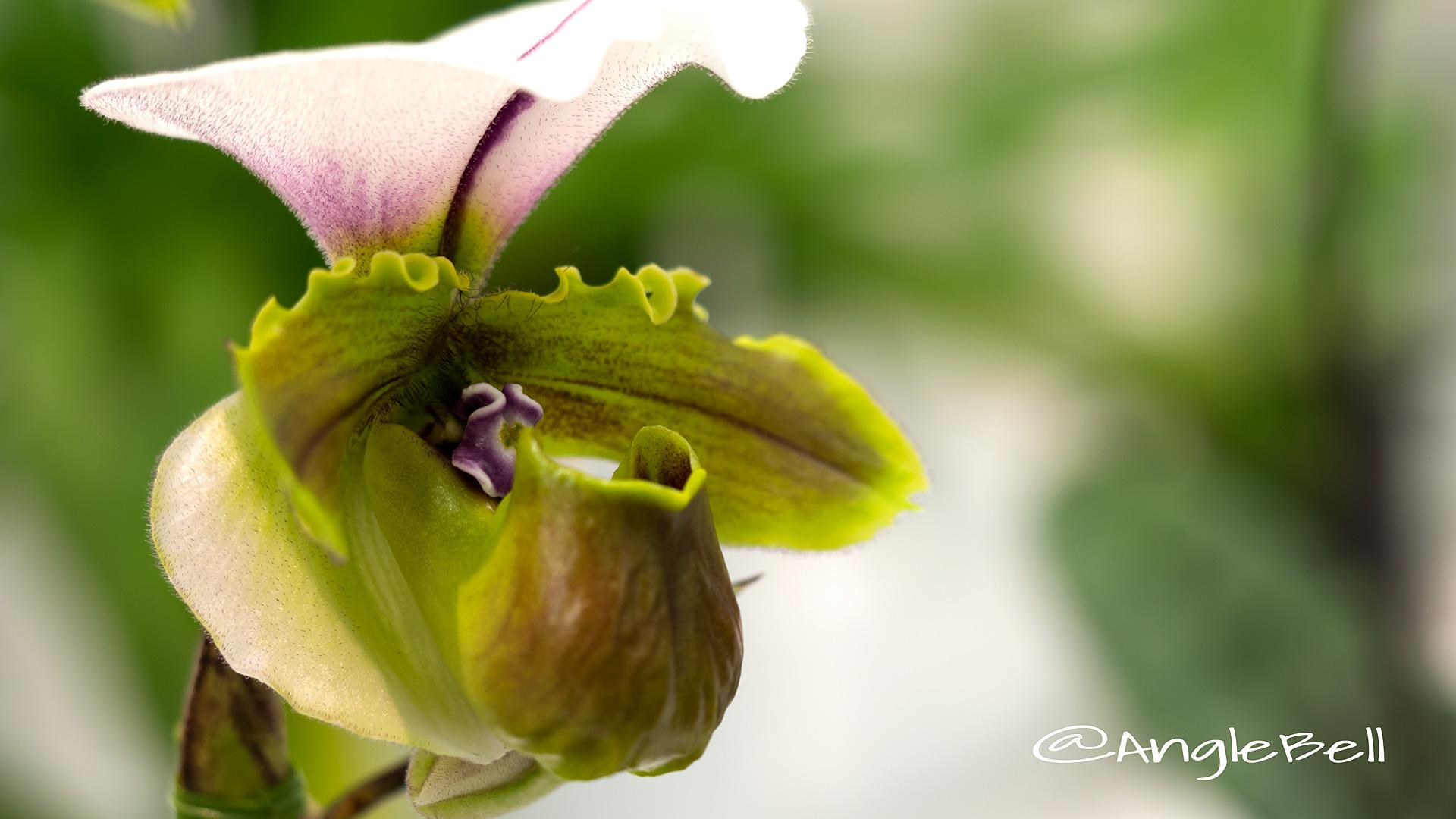 パフィオペディラム Flower Photo3
