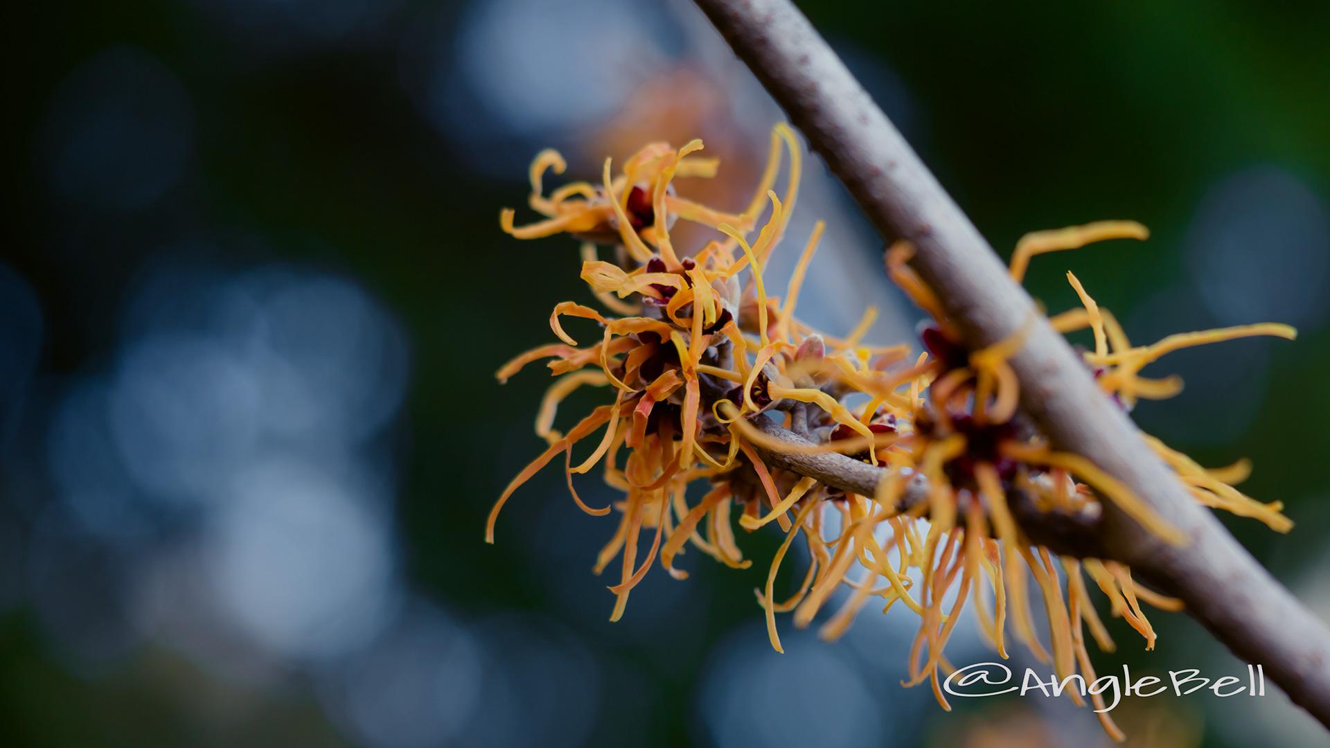 シナマンサク Flower Photo2