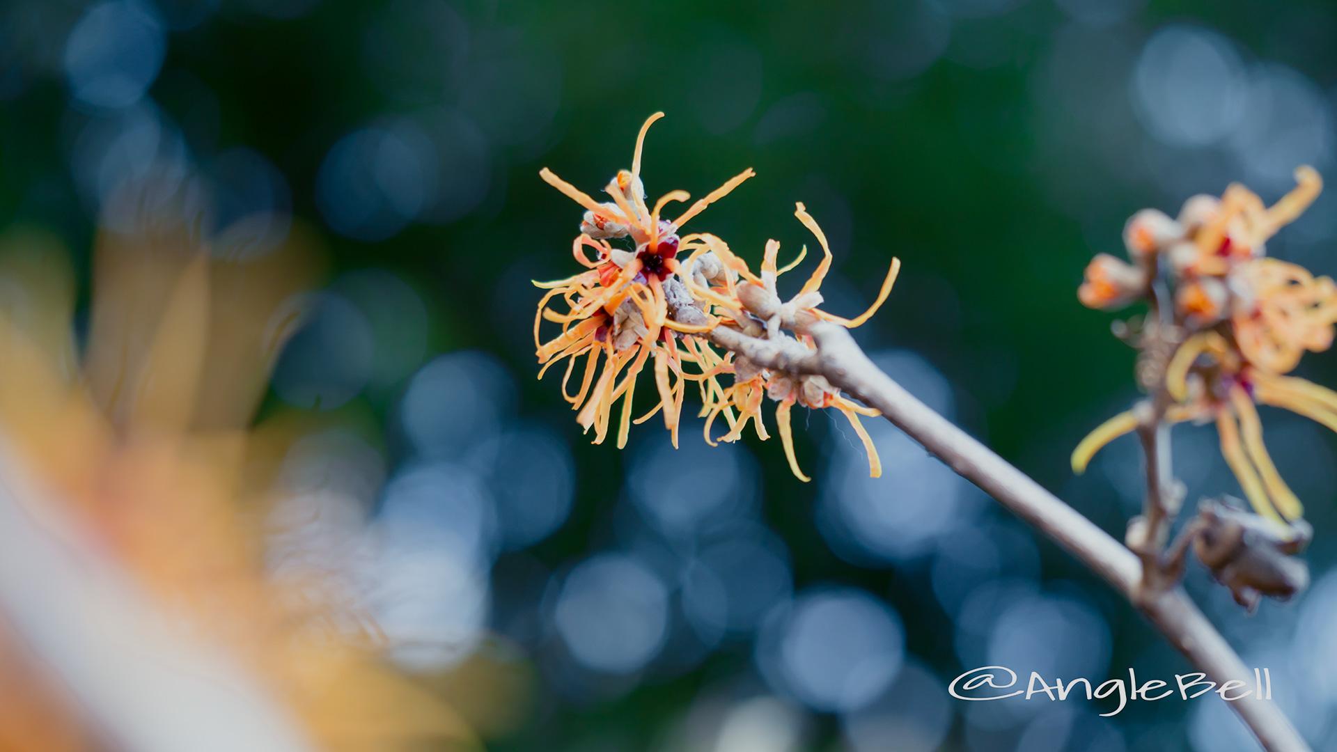 シナマンサク Flower Photo3