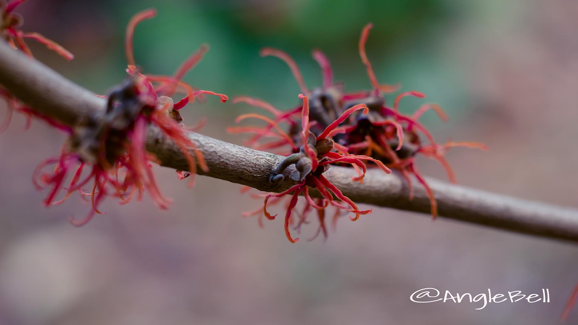 アカバナマンサク Flower Photo2