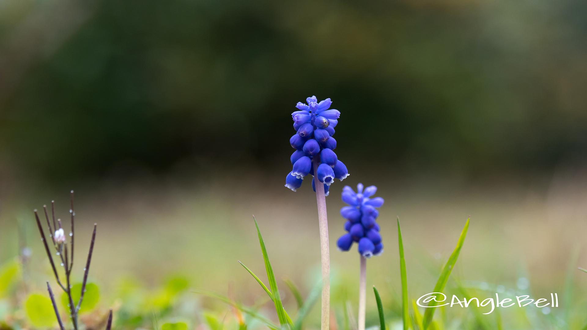 ムスカリ Flower Photo2